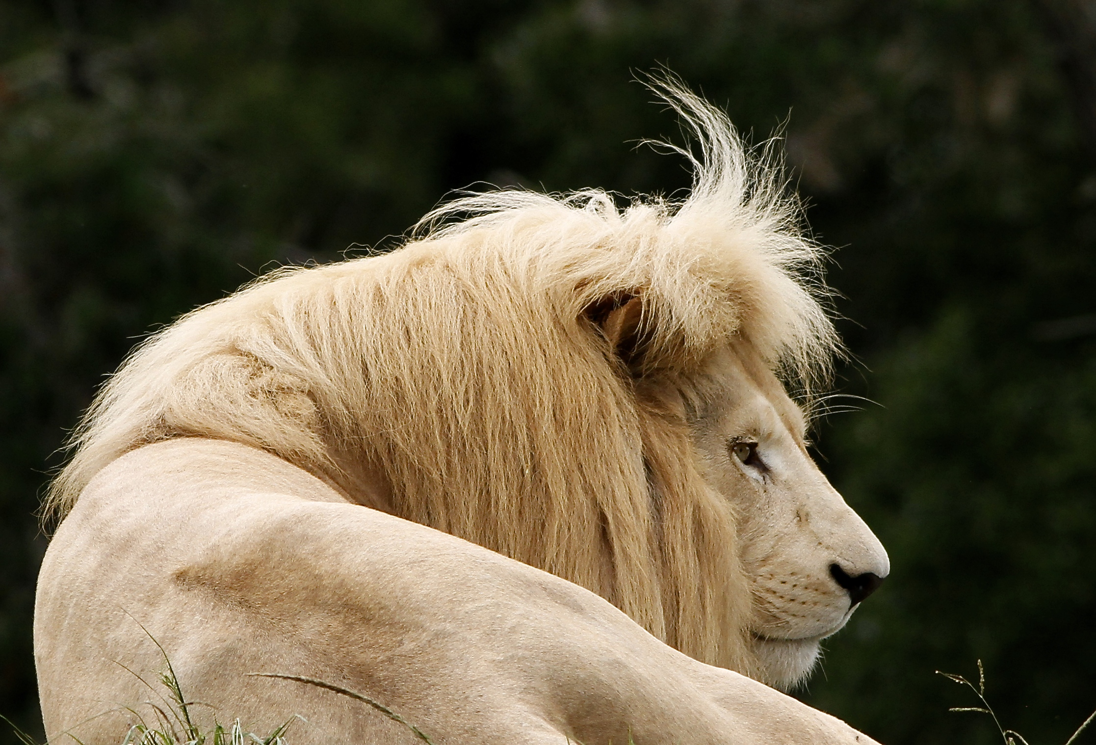 https://www.sirplett.co.za/userfiles/images/Check-that-fringe-of-the-White-lion-at-Jukani.JPG