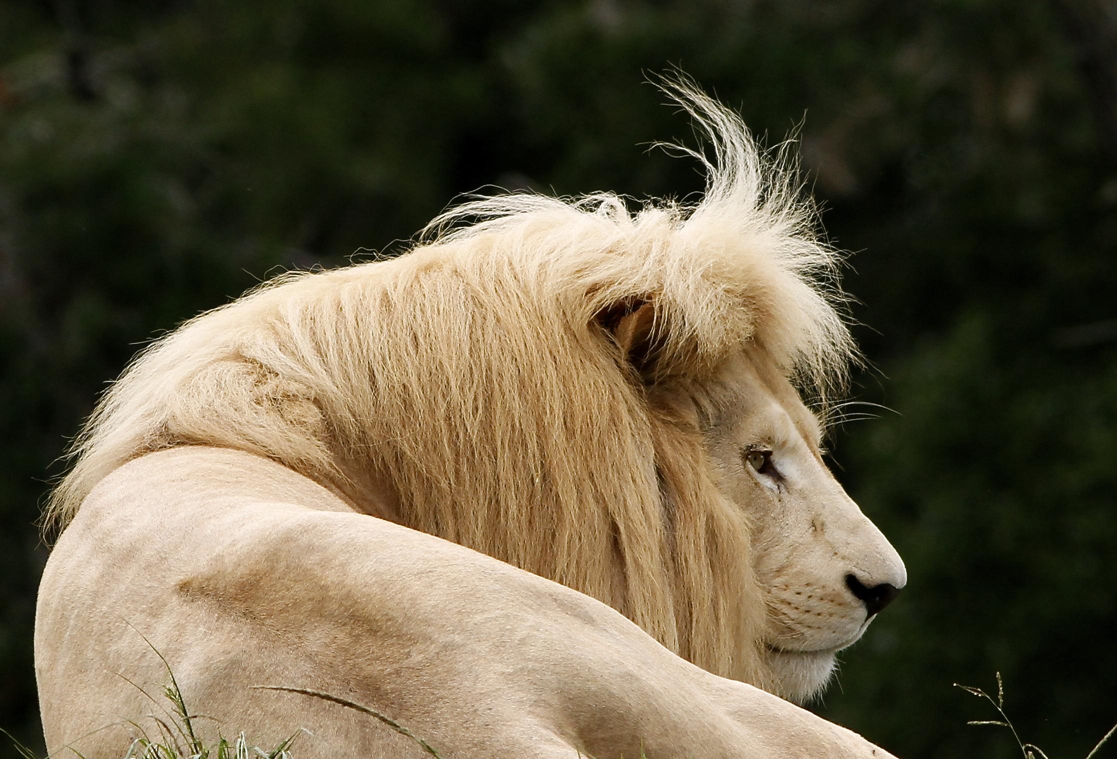 https://www.sirplett.co.za/userfiles/images/Check-that-fringe-of-the-White-lion-at-Jukani.JPG