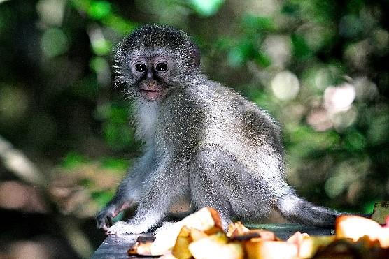 https://www.sirplett.co.za/userfiles/images/monkey.jpg